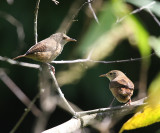 Tropical House Wrens - Troglodytes aedon