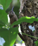 Cocoa Woodcreeper - Xiphorhynchus susurrans