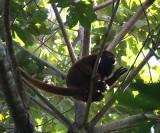 Red Howler Monkey - Alouatta seniculus