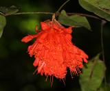 Rose of Venezuela, Scarlet Flame - Brownea grandiceps
