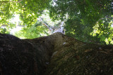 Looking straight up a Sandbox Tree
