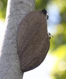 Armadillo Wasp nest - Vespidae - Synoeca sp.