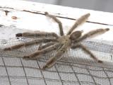 Chevron Tarantula - Psalmopoeus cambridgei