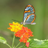 Blue Transparent Butterfly - Ithomia pellucida
