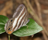 Two-banded Satyr - Pareuptychia metaleuca