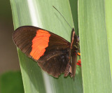 Small Postman Butterfly - Heliconius erato