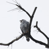 Gray-lined Hawk - Buteo nitidus