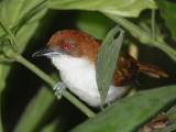 Great Antshrike female - Taraba major