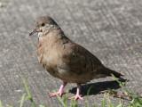 Ruddy Ground Dove, female - Columbina talpacoti