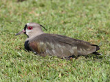 Southern Lapwing - Vanellus chilensis