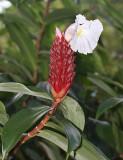 Spiral Ginger - Costus speciosus