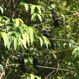 A bunch of Smooth-billed Anis - Crotophaga ani