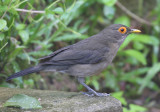 Spectacled Thrush - Turdus nudigenis