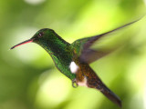 Copper-rumped Hummingbird - Amazilia tobaci