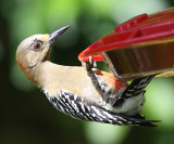 Red-crowned Woodpecker female - Melanerpes rubricapillus