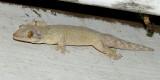 Turnip-tailed Gecko (Thecadactylus rapicauda)