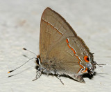 Red-lined Scrub-Hairstreak - Strymon bebrycia