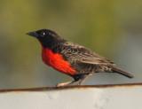 Red-breasted Blackbird - Sturnella militaris