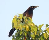 Carib Grackle - Quiscalus lugubris