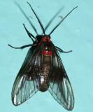 Pseudomya melanthoides