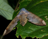 Pachylia ficus