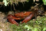 Trinidad Mountain Crab - Pseudotelphusa garmani