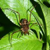 Craniadae - Santinezia serratotibialis