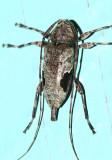 Hylettus seniculus