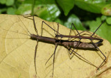 Walkingsticks - Phasmatodea