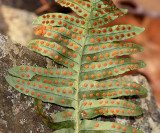 Common Polypody - Polypodium virginianum