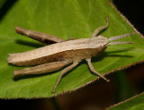 Chloealtis conspersa (3rd instar)