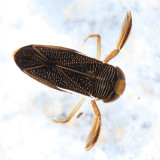 Hesperocorixa lobata
