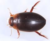 Hydaticus piceus