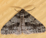 6660 - Small Phigalia - Phigalia strigataria