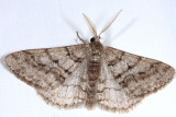 6658 - Half-Wing - Phigalia titea