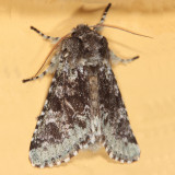 10007 -- Major Sallow Moth -- Feralia major