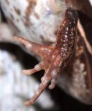 female Wood Frog - Lithobates sylvaticus