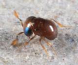 Baeus sp. (.8mm Dwarf flightless female Wasp)