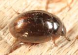 Water Scavenger Beetles - Hydrophilidae