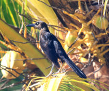 female Great-tailed Grackle - Quiscalus mexicanus