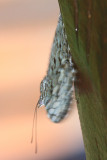Variable Cracker - Hamadryas feronia