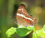 Banded Peacock - Anartia fatima