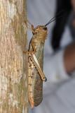 4 long grasshopper
