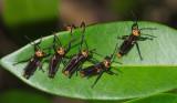Grasshopper nymphs