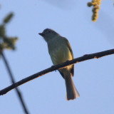 Yellow-olive Flycatcher - Tolmomyias sulphurescens