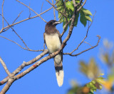 Brown Jay - Cyanocorax morio