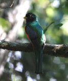 Collared Trogon - Trogon collaris