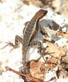 Yuacatan Spiny Lizard - Sceloporus chrysostictus