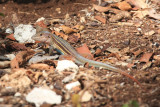 Yucatan Whiptail - Cnemidophorus angusticeps