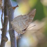Two-spotted Prepona - Archaeoprepona demophon gulina